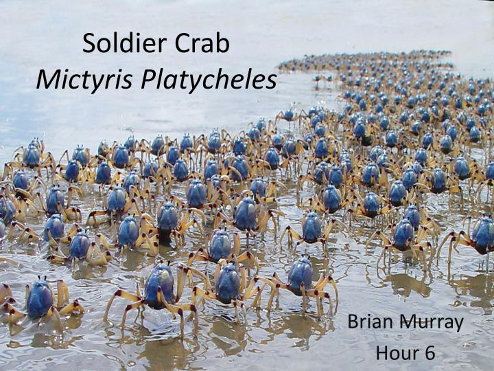soldier crab mictyris platycheles n.