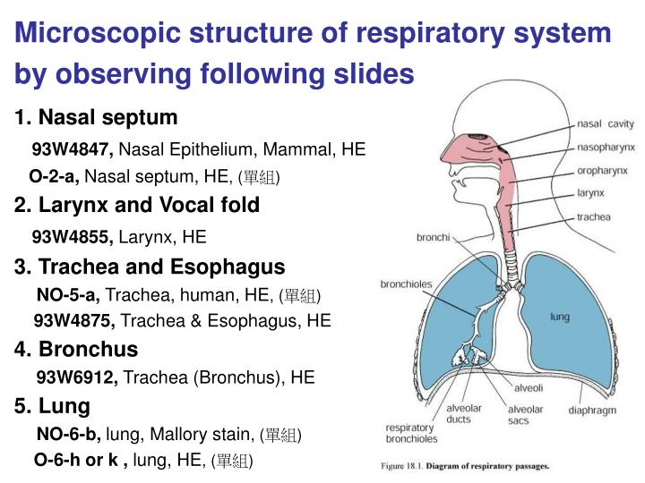 Microscopic structure of respiratory system by observing following slides