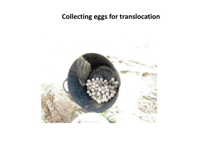 Collecting eggs for translocation