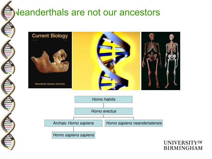 Neanderthals are not our ancestors