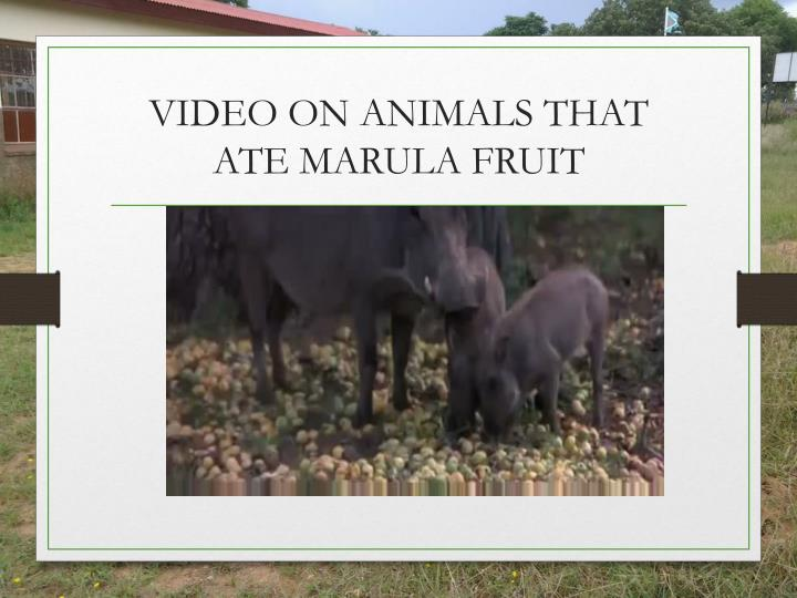 VIDEO ON ANIMALS THAT ATE MARULA FRUIT
