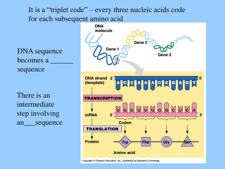 "It is a ""triplet code"" – every three nucleic acids code for each subsequent amino acid"