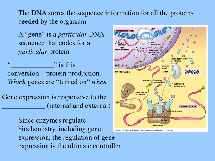 The DNA stores the sequence information for all the proteins needed by the organism