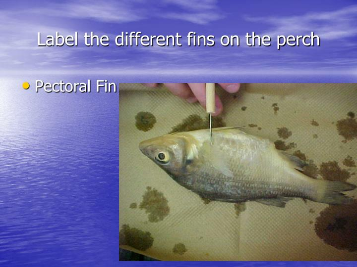 Label the different fins on the perch