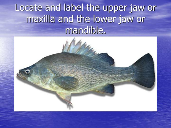 Locate and label the upper jaw or maxilla and the lower jaw or mandible.