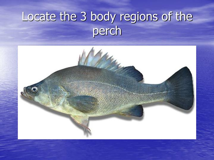 Locate the 3 body regions of the perch