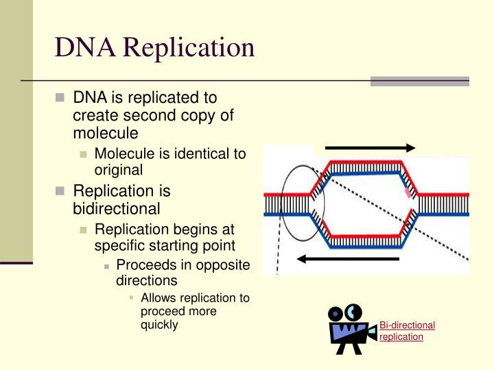 Ppt the blueprint of life from dna to protein powerpoint bi directional replication malvernweather Images