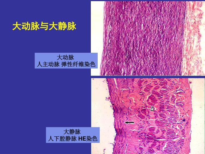 大动脉与大静脉