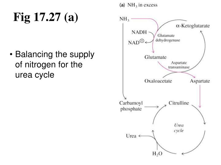 PPT - 17.8 Amino Acid Catabolism PowerPoint Presentation ...
