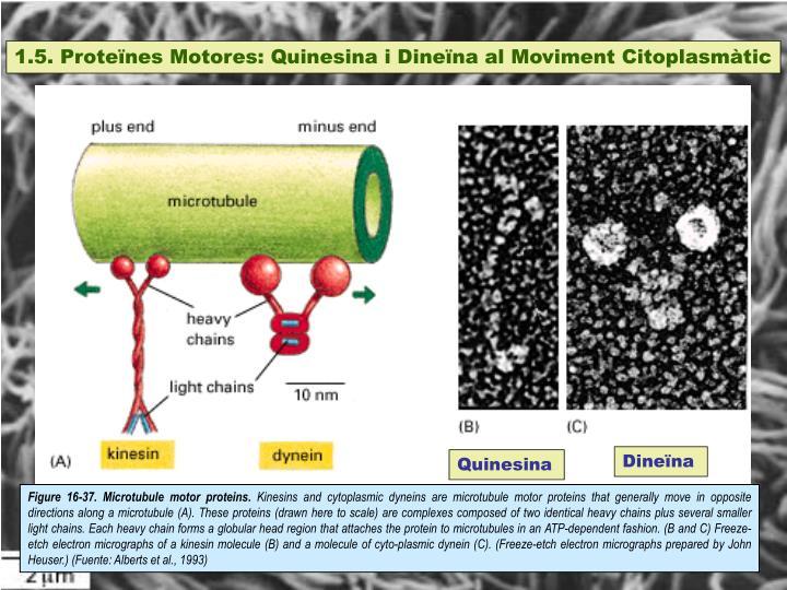 1.5. Proteïnes Motores: Quinesina i Dineïna al Moviment Citoplasmàtic
