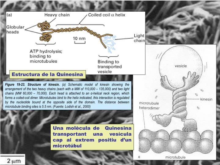 Estructura de la Quinesina