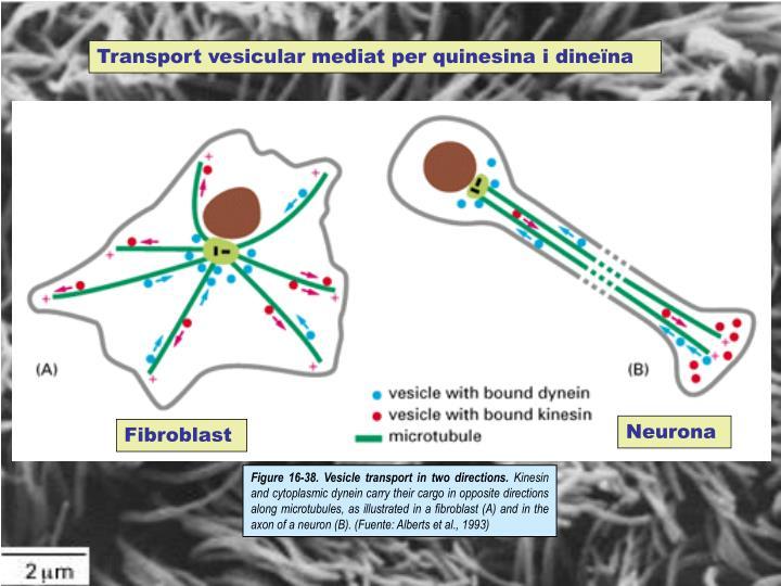 Transport vesicular mediat per quinesina i dineïna