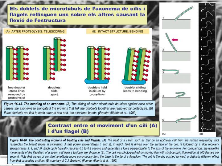 Els doblets de microtúbuls de l'axonema de cilis i flagels rellisquen uns sobre els altres causant la flexió de l'estructura