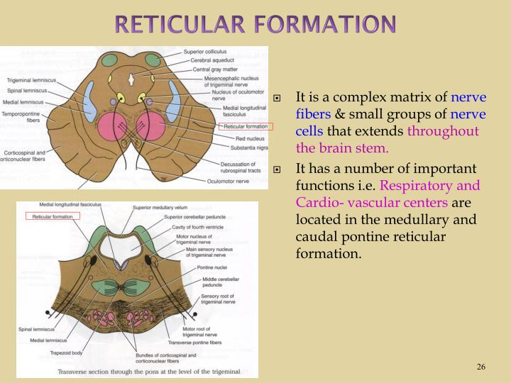 PPT - INTERNAL STRUCTURE OF THE BRAIN STEM By Dr. Sanaa ...