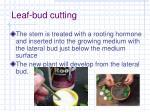 leaf bud cutting1