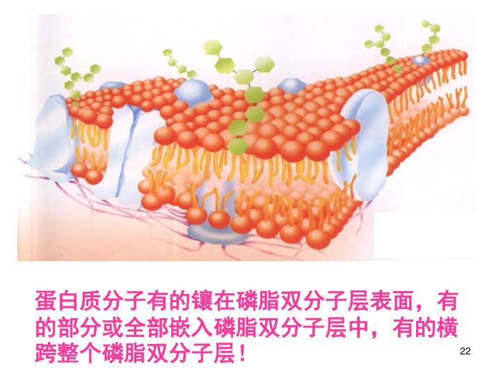 蛋白质分子有的镶在磷脂双分子层表面,有的部分或全部嵌入磷脂双分子层中,有的横跨整个磷脂双分子层!