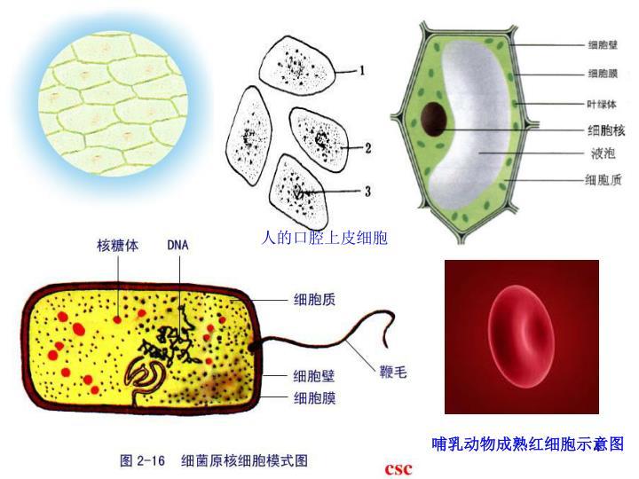 人的口腔上皮细胞