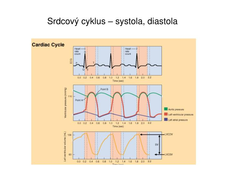 Srdcov cyklus systola diastola