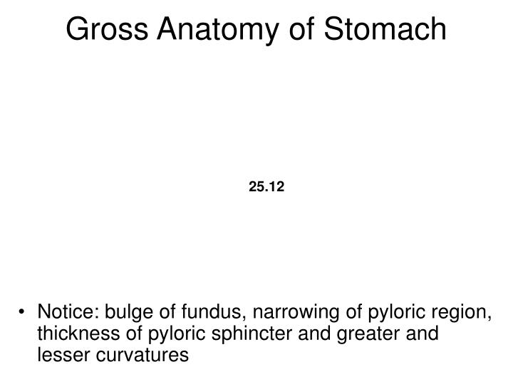 Gross Anatomy of Stomach