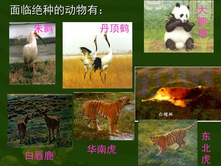 面临绝种的动物有:
