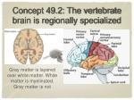concept 49 2 the vertebrate brain is regionally specialized1