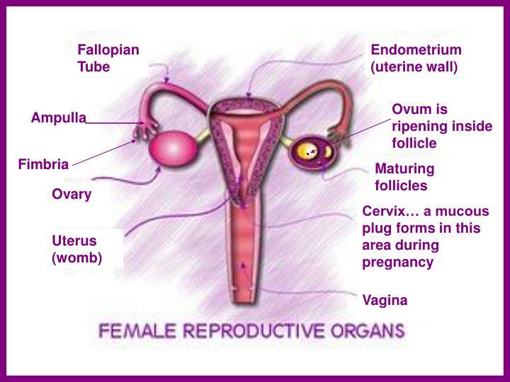 Fallopian Tube