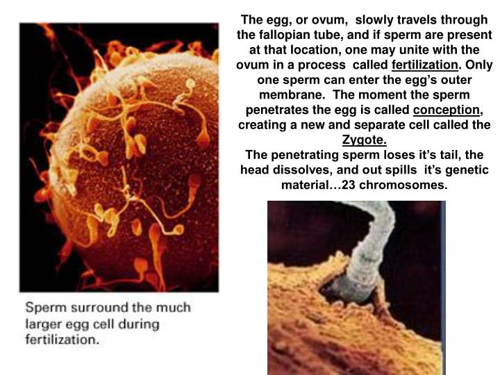 The egg, or ovum,  slowly travels through the fallopian tube, and if sperm are present at that location, one may unite with the ovum in a process  called