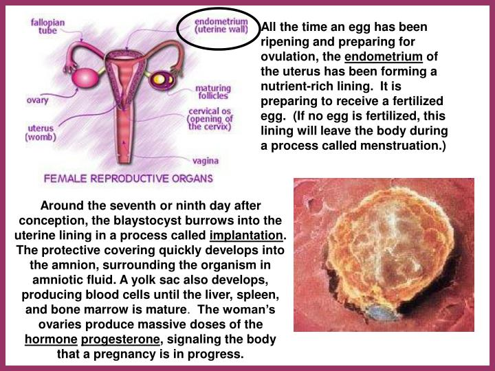 All the time an egg has been ripening and preparing for ovulation, the
