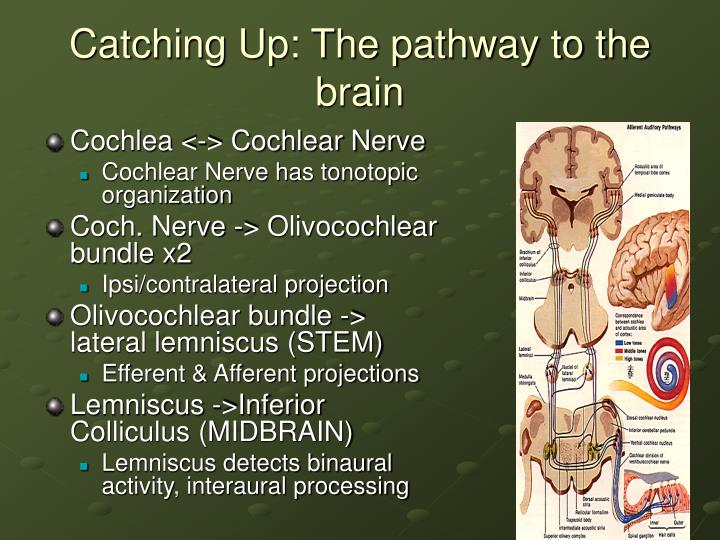 Catching Up: The pathway to the brain
