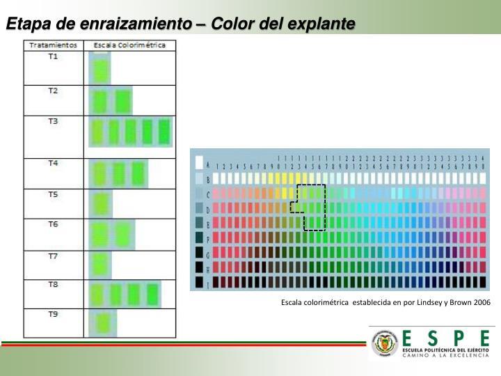 Etapa de enraizamiento – Color del explante