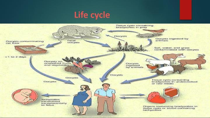 life cycle of toxoplasma gondii pdf