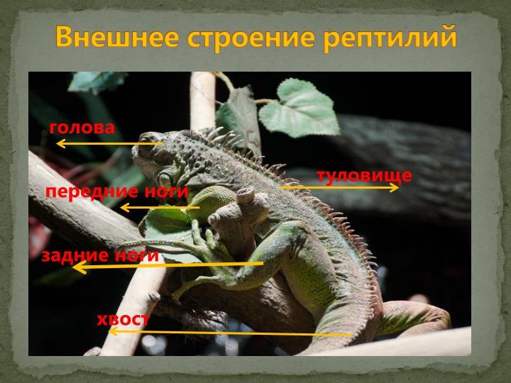 Внешнее строение рептилий