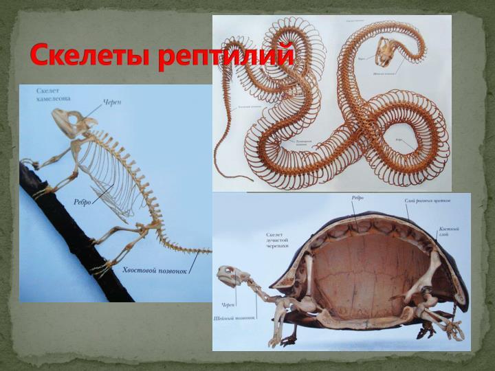Скелеты рептилий