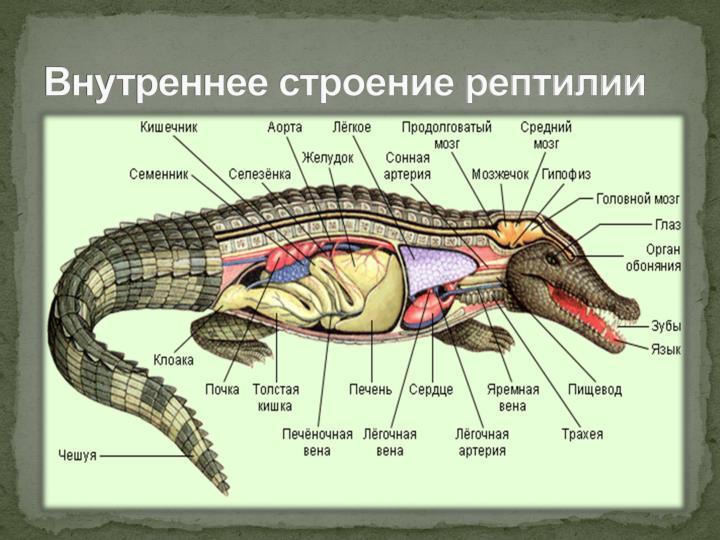 Внутреннее строение рептилии