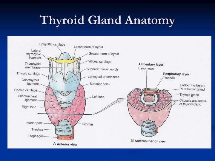 PPT - Thyroid, Parathyroid, and Neck PowerPoint Presentation - ID ...
