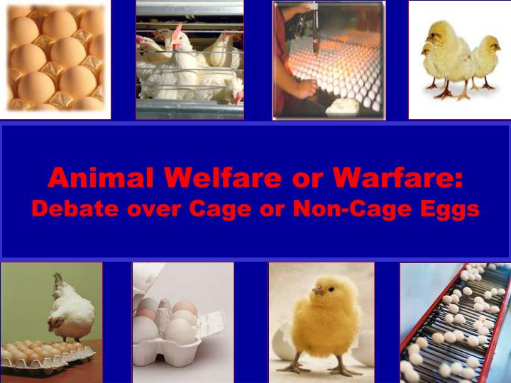 animal welfare or warfare debate over cage or non cage eggs n.
