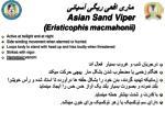 asian sand viper eristicophis macmahonii