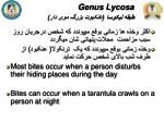 genus lycosa1