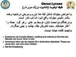 genus lycosa2