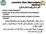 levantine viper macrovipera lebetina1