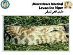 macrovipera lebetina levantine viper