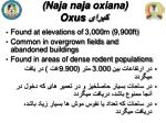 naja naja oxiana oxus