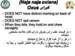 naja naja oxiana oxus1