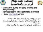 naja naja oxiana oxus2