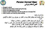 persian horned viper2