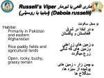 russell s viper daboia russelii