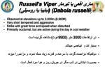 russell s viper daboia russelii1