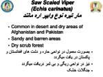 saw scaled viper echis carinatus