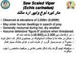 saw scaled viper echis carinatus1