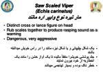 saw scaled viper echis carinatus2